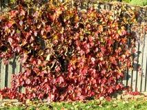 Φύλλα φθινοπώρου Thornhill σε έναν φράκτη 2016 Στοκ εικόνα με δικαίωμα ελεύθερης χρήσης