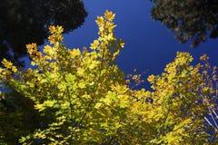 Φύλλα φθινοπώρου Yosemite Στοκ Εικόνες