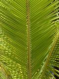 Φύλλα φοινικών Στοκ Εικόνες