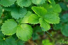 Φύλλα φραουλών με τη μικροσκοπική μπλε λιβελλούλη Στοκ Εικόνες