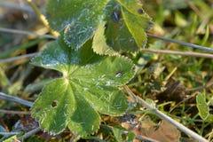 Φύλλα φραουλών που καλύπτονται με το hoarfrost Στοκ φωτογραφία με δικαίωμα ελεύθερης χρήσης