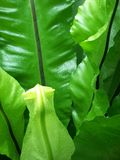 Φύλλα φτερών Βικτώριας Στοκ Εικόνα