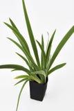 Φύλλα φυτού Feash Pandan Στοκ φωτογραφίες με δικαίωμα ελεύθερης χρήσης