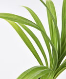 Φύλλα φυτού Feash Pandan Στοκ Φωτογραφίες