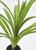 Φύλλα φυτού Feash Pandan στοκ φωτογραφία με δικαίωμα ελεύθερης χρήσης