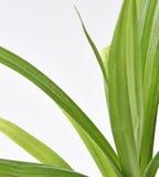 Φύλλα φυτού Feash Pandan Στοκ εικόνες με δικαίωμα ελεύθερης χρήσης