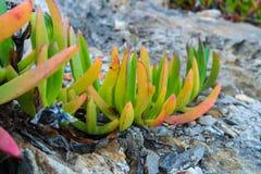 Φύλλα φυτών πάγου σύκων θάλασσας που αυξάνονται στους βράχους Στοκ εικόνες με δικαίωμα ελεύθερης χρήσης