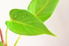 Φύλλα φλαμίγκο Στοκ εικόνα με δικαίωμα ελεύθερης χρήσης