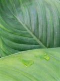 Φύλλα Anthurium κρυστάλλου Στοκ Εικόνα