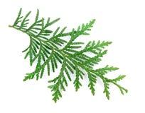 Φύλλα Arborvitae σε ένα άσπρο υπόβαθρο Στοκ Φωτογραφίες