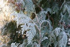 Φύλλα Arborvitae στον παγετό Στοκ εικόνα με δικαίωμα ελεύθερης χρήσης
