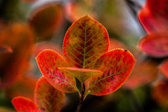Φύλλα Aronia Στοκ φωτογραφίες με δικαίωμα ελεύθερης χρήσης