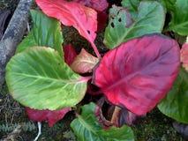 Φύλλα Bergenia Στοκ Εικόνα