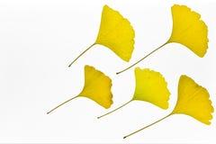 Φύλλα biloba Ginkgo Στοκ Εικόνα