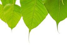 Φύλλα Bodhi ή Peepal στο άσπρο υπόβαθρο Στοκ Φωτογραφίες