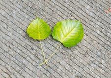 Φύλλα Bodhi στο έδαφος Στοκ φωτογραφία με δικαίωμα ελεύθερης χρήσης