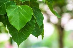 Φύλλα Bodhi Στοκ φωτογραφία με δικαίωμα ελεύθερης χρήσης