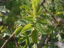 Φύλλα Briar Στοκ Εικόνες