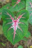 Φύλλα Caladium στοκ φωτογραφία με δικαίωμα ελεύθερης χρήσης