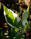 Φύλλα Dogwood Στοκ Εικόνες