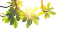 Φύλλα Frangipani ή plumeria που απομονώνονται Στοκ Εικόνες