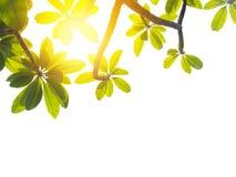 Φύλλα Frangipani ή plumeria που απομονώνονται Στοκ Φωτογραφία
