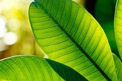 Φύλλα Frangipani αναδρομικά φωτισμένα από τον ήλιο Στοκ Φωτογραφία