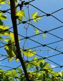 Φύλλα Gac friut Στοκ φωτογραφία με δικαίωμα ελεύθερης χρήσης