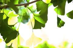 Φύλλα Gingko Στοκ εικόνες με δικαίωμα ελεύθερης χρήσης