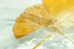 Φύλλα Ginkgo στον πάγκο Στοκ φωτογραφίες με δικαίωμα ελεύθερης χρήσης
