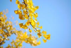 Φύλλα Ginkgo Στοκ Φωτογραφία