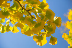 Φύλλα Ginkgo Στοκ εικόνες με δικαίωμα ελεύθερης χρήσης