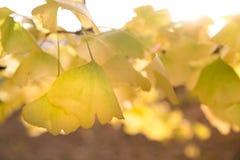 Φύλλα Ginko ενάντια σε έναν ηλιοφώτιστο ουρανό φθινοπώρου Στοκ Εικόνα