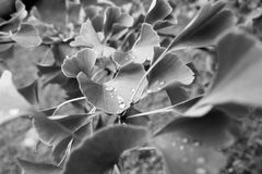 Φύλλα Ginko με τα dropps σε γραπτό Στοκ φωτογραφία με δικαίωμα ελεύθερης χρήσης