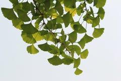 Φύλλα Ginko Στοκ Εικόνες