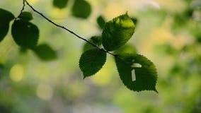 Φύλλα glabra Ulmus λευκών Wych που κινούνται στο αεράκι απόθεμα βίντεο