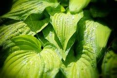Φύλλα Hosta Στοκ Εικόνα