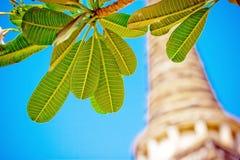 Φύλλα Leelawadee Plumeria με την παγόδα Στοκ φωτογραφία με δικαίωμα ελεύθερης χρήσης