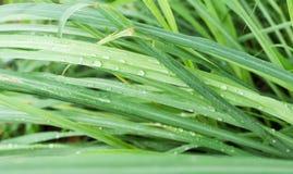 Φύλλα lemongrass στοκ εικόνα με δικαίωμα ελεύθερης χρήσης
