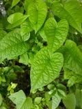 Φύλλα leptopus Antigonon στον κήπο φύσης Στοκ φωτογραφία με δικαίωμα ελεύθερης χρήσης