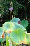 Φύλλα Lotus και λοβοί σπόρου Στοκ Εικόνα