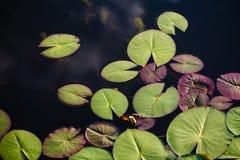 Φύλλα Lotus στοκ εικόνα