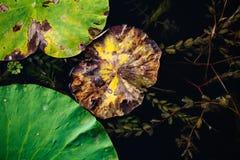 Φύλλα Lotus στοκ φωτογραφία με δικαίωμα ελεύθερης χρήσης