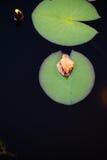 Φύλλα Lotus στοκ εικόνες με δικαίωμα ελεύθερης χρήσης