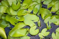 Φύλλα Lotus Στοκ Φωτογραφία