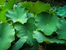 Φύλλα Lotus στοκ εικόνες