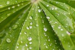 Φύλλα Lupine και νερό βροχής σε το Στοκ Εικόνες