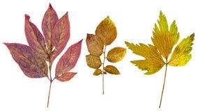 Φύλλα Peony, φύλλα πατατών και φύλλα lovage Στοκ εικόνα με δικαίωμα ελεύθερης χρήσης