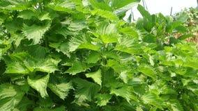 Φύλλα Perilla του τομέα απόθεμα βίντεο