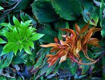 Φύλλα Pieris το φθινόπωρο Στοκ φωτογραφία με δικαίωμα ελεύθερης χρήσης